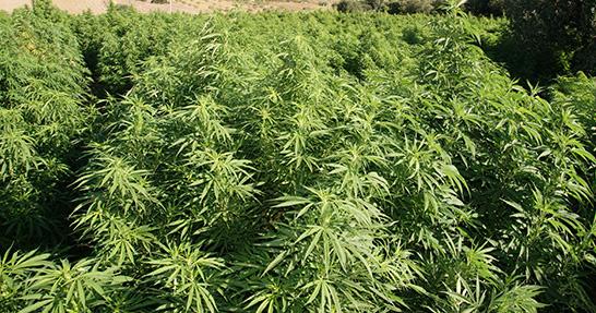 accanto-villa-piscina-maxi-piantagione-cannabis